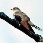 Cuckoo image