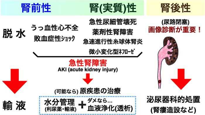 腺 腎臓 扁桃